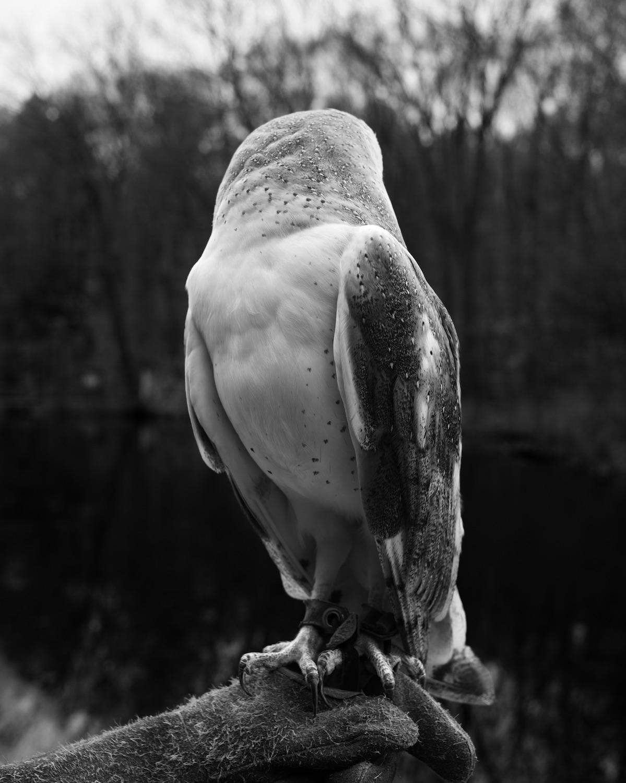 Barn Owl by Elaine Bezold