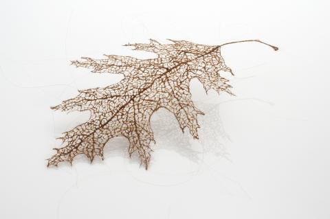 Leaf (auburn) by Jenine Shereos
